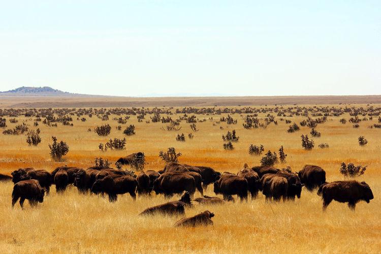 Herd of bison on landscape against clear sky