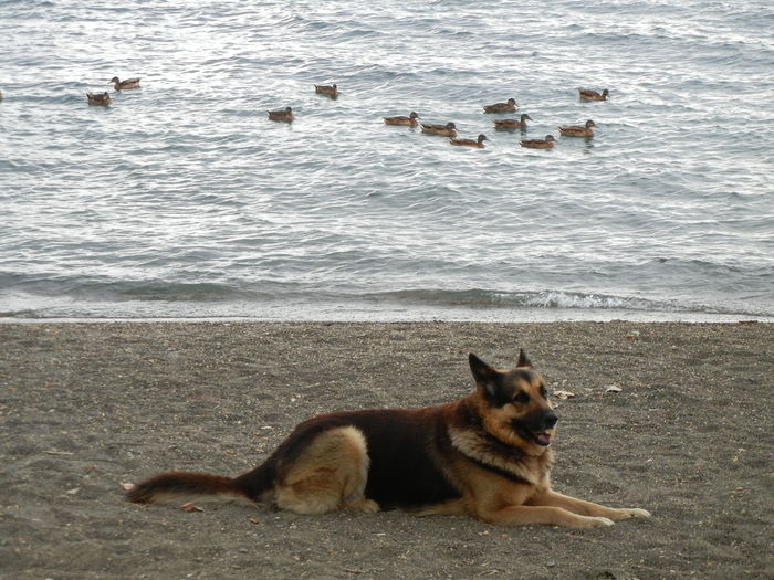 View of dog relaxing on beach