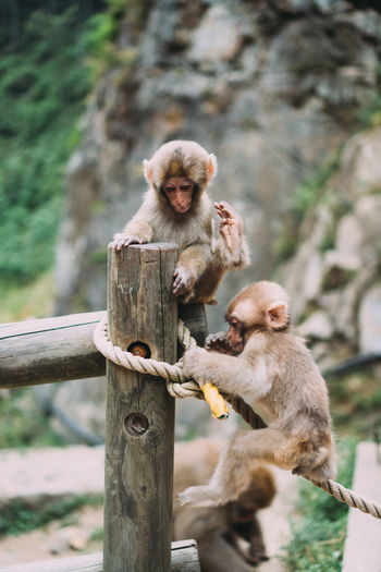 Monkey sitting on wooden post