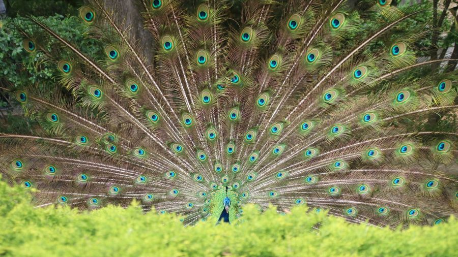 Tail Peacock