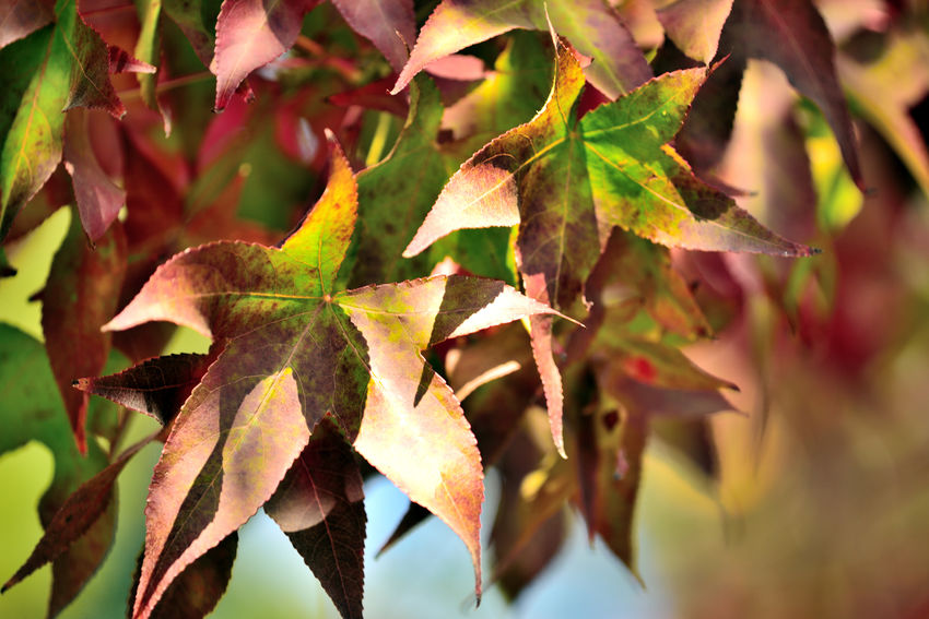 Leaves of Dry Creek 11 Leaves🌿 Leaves In A Tree Sweet Gum Tree American Storax Liquidambar Styraciflua Altingiaceae Beauty Of Fall Leaves_collection Leaves 🍁 Leaves In Autumn Autumn🍁🍁🍁 Autumn Collection Plant Life Botany Horticulture Nature Beauty In Nature Nature_collection Garden Photography Garden_collection Autumn Leaf🍁🍂 Autumn Colors🍃🌿 Changing Seasons Dry Creek Pioneer Regional Park