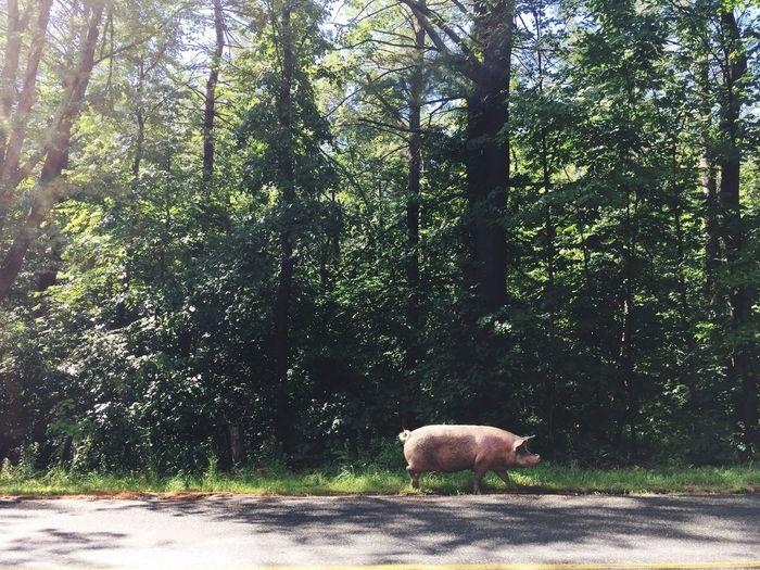 One Animal Animal Themes Day No People Outdoors Pig Farm Animal Tree Road Walking