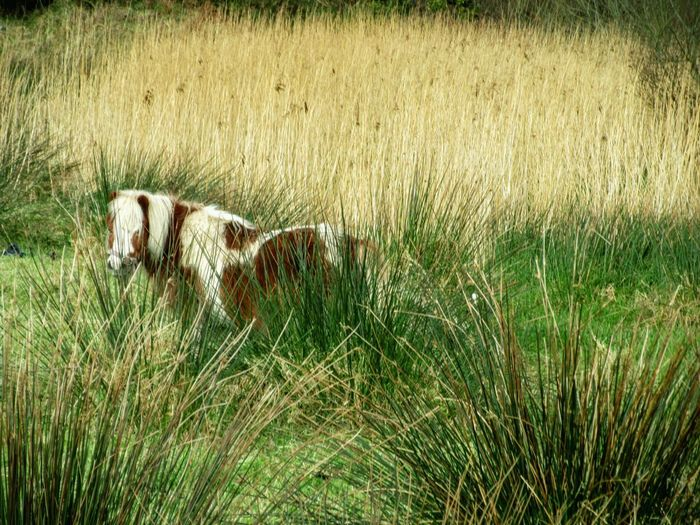 Horse amongst the rushes Horse Small Horse Horse Photography  Rushes Bogland Nature's Diversities Mizen Peninsula Wildatlanticway Ireland