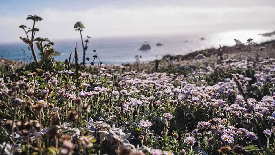 Sonoma Coast Northern California Pacific Ocean Plant Flower Flowering Plant Beauty In Nature Water Growth Nature Sky Sea Fragility Vulnerability  Land Freshness Day No People Beach Tranquility Scenics - Nature Horizon Over Water Outdoors The Great Outdoors - 2018 EyeEm Awards