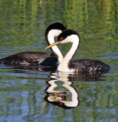 Grebe Mates Waterfowl Pair Swimming Reflection Red Eye Western Grebe Water_collection