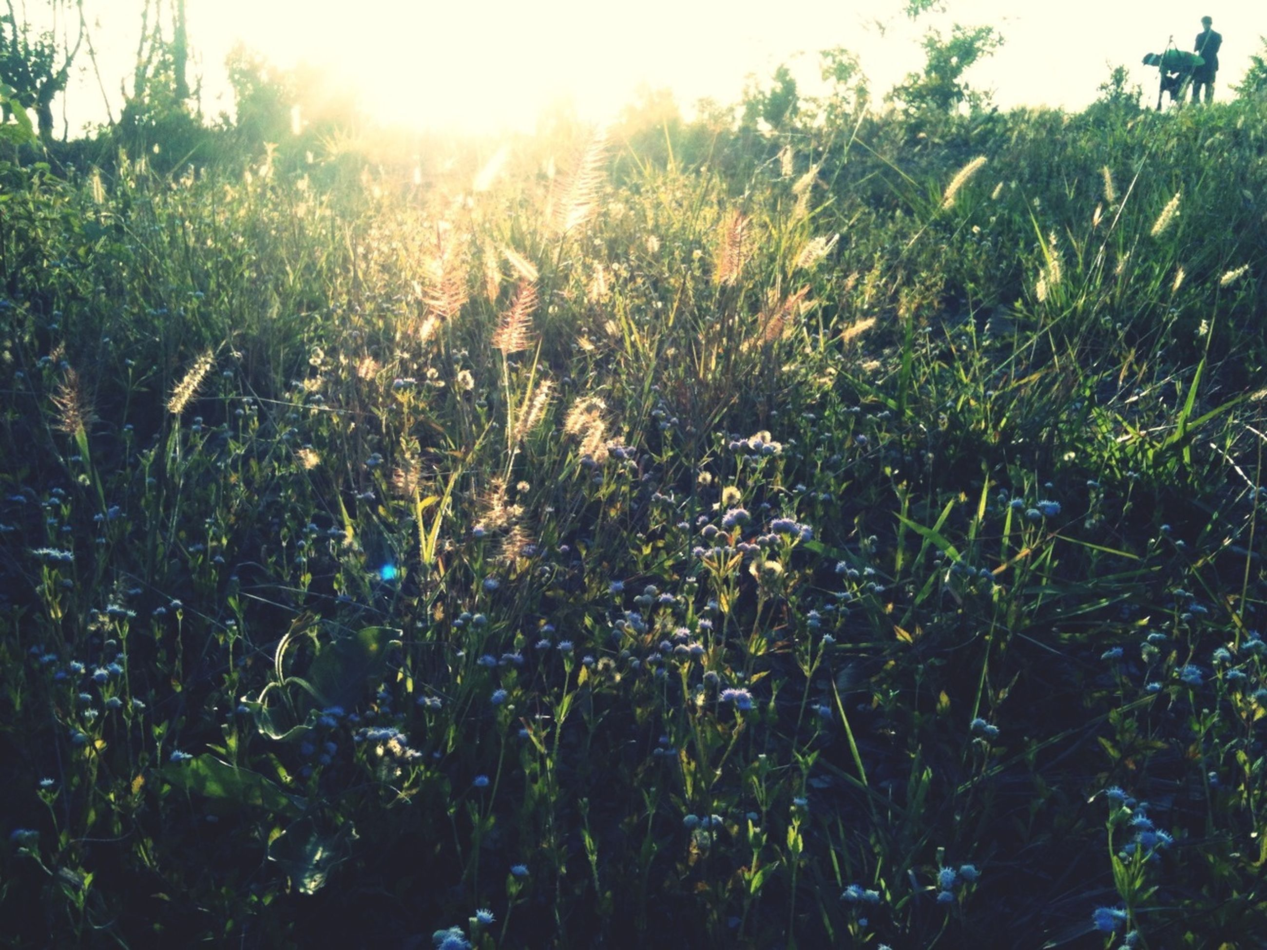 growth, plant, sunlight, sun, sunbeam, field, grass, beauty in nature, nature, lens flare, flower, freshness, tranquility, green color, day, outdoors, sunny, growing, tranquil scene, no people