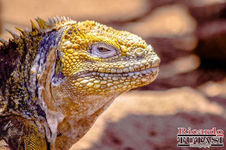 Iguana De Galapagos Ricardo Tutasi Tutasi