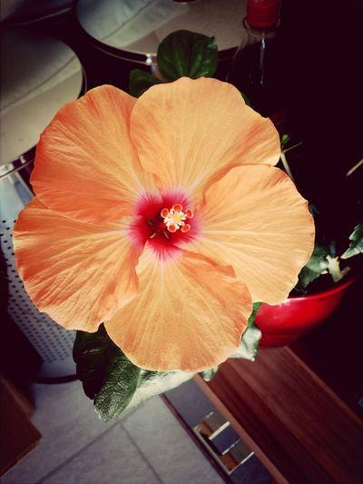 Flowerporn Hibiskus ♥