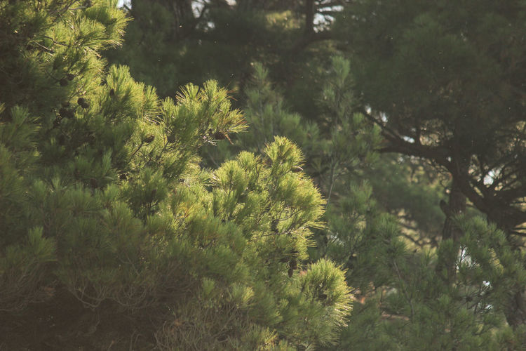 Pines on the Black Sea. Plant Tree Growth Nature Green Color Day No People Beauty In Nature Tranquility Land Forest Outdoors High Angle View Tranquil Scene Environment Lush Foliage Foliage Sunlight Focus On Foreground Branch Pines Forest Pine Tree Sun Green Summer