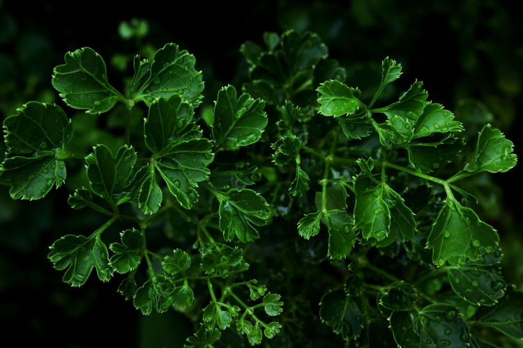 Green leaves background. Green Color Leaf Plant Part Growth Plant Beauty In Nature Nature Freshness Close-up No People Food And Drink Food Focus On Foreground Day Water Outdoors Selective Focus Drop Healthy Eating Herb Leaves