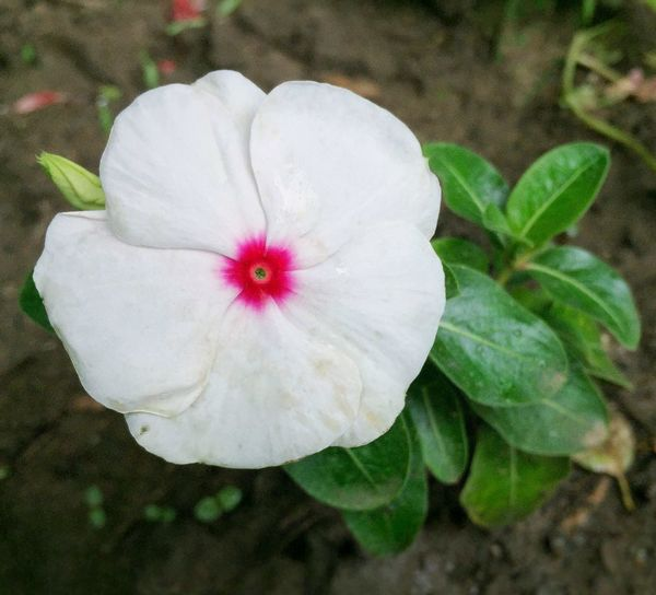 Flower Flower Head White Color Beauty In Nature Freshness No People