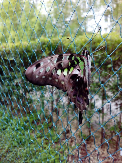 Fence No People Metal Chainlink Fence Animal Themes Day Nature Outdoors Close-up Butterfly Butterfly Collection Butterfly Garden Finding New Frontiers One Animal Animals In The Wild Focus On Foreground Animal Wildlife Cage Trapped Mammal