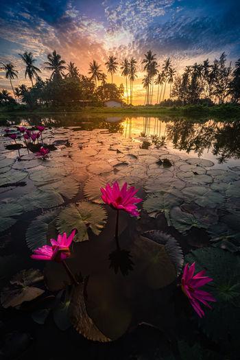 Pink lotus water lily in lake during sunset