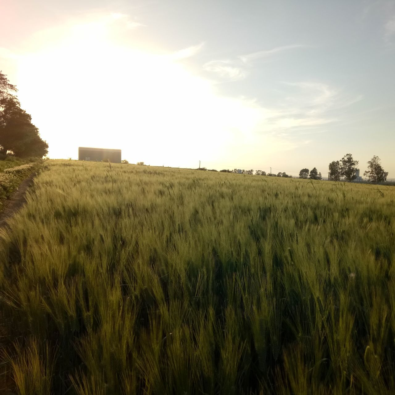 field, agriculture, growth, farm, landscape, nature, wheat, crop, grass, sky, cereal plant, no people, rural scene, outdoors, beauty in nature, day