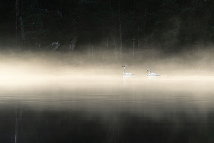 Two swans twelve Reflection Waterfront Lake Water Bird Animals In The Wild Animal Themes Tranquility Tranquil Scene Scenics - Nature Animal Wildlife Nature Animal Beauty In Nature Group Of Animals Non-urban Scene No People Outdoors Sky Swan Swans Fog Over Water