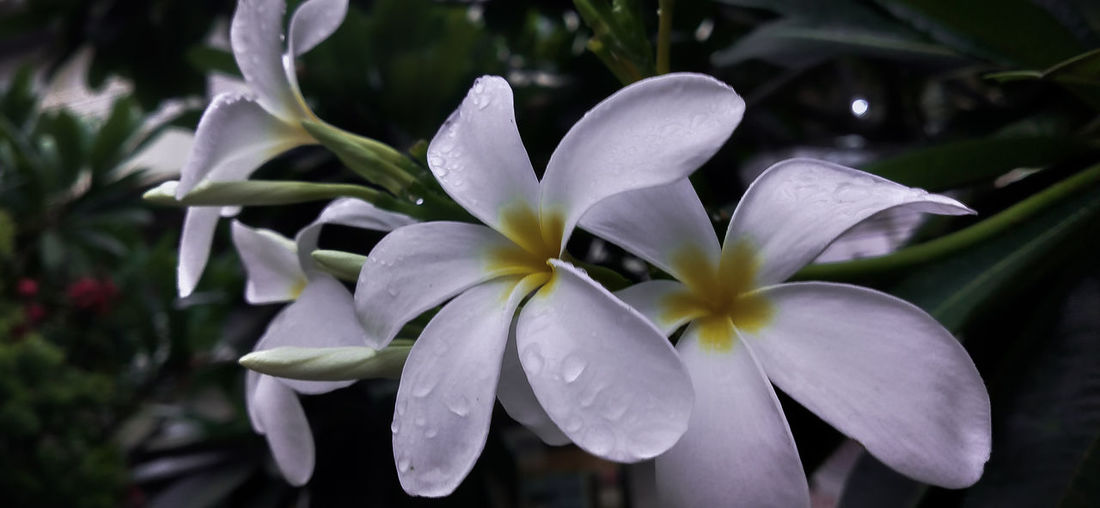 Close-up of white frangipani flowers in park