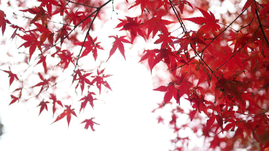 Red color maple leaf and blur white light bokeh on sky for background. Autumn Branch Tree Plant Leaf Plant Part Beauty In Nature Change Maple Leaf Red Low Angle View Nature Growth No People Maple Tree Close-up Day Selective Focus Outdoors Freshness Leaves Natural Condition Cherry Blossom Red Color Maple Leaf And Blur White Light Bokeh On Sky For Background. Maple; Red; Tree; Autumn; Leaves; Leaf; Nature; Background; Fall; Foliage; Season; Sky; Beautiful; Color; Canada; Forest; Park; Beauty; Scene; Bright; White; Colorful; Orange; Sunlight; Autumnal; Natural; Branch; Texture; Abstract; Isolated; Plant; Outdoo