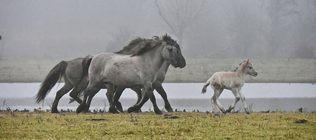 FollowTheLeader Nature Photography Horse Photography  this foal gets the whole herd in action Stallions Protective Foal Konik