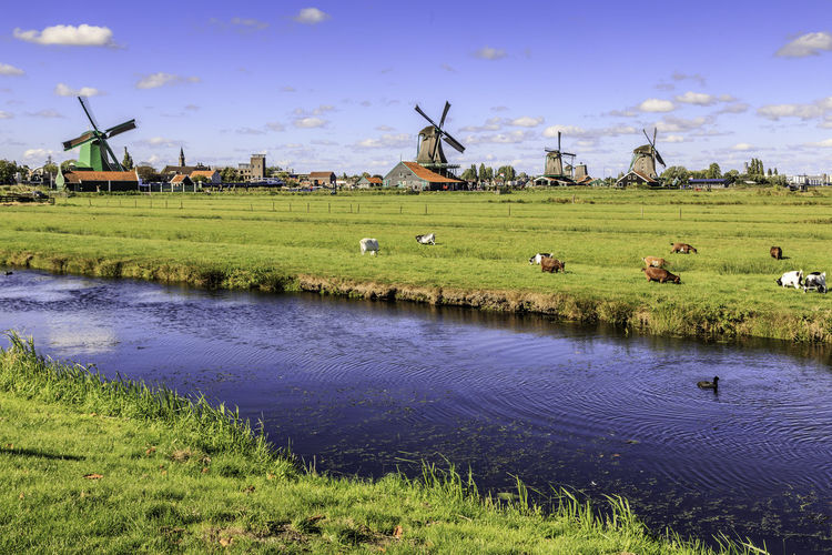 Agriculture Beautifully Organized Blue Canal Caw Day Grass Landscape Large Group Of Animals Mill Nature No People Outdoors Rice Paddy Sky Sunset Water Windmill Zaanse Schans