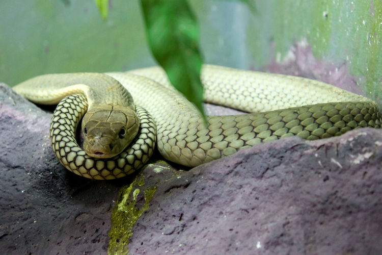 Close-up Of Yellow Snake On Rock