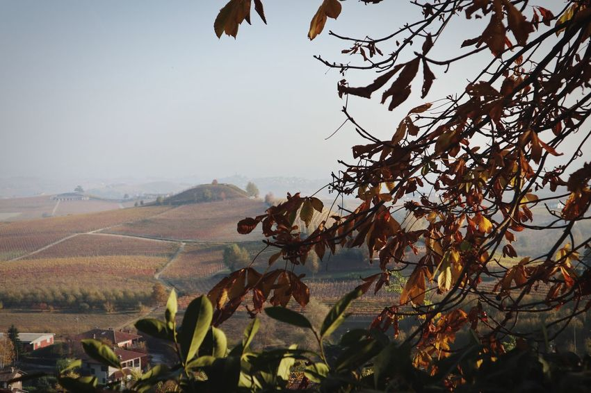 Langhe Roero Nature Growth Beauty In Nature No People Outdoors Tranquility Day Landscape Plant Agriculture Tree Scenics Sky Clear Sky Wine Wineandmore Love Viticulture