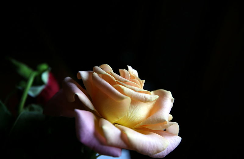 Selective focus on a pink-yellow rose, in profile, with a drooping red bud blurred in the background