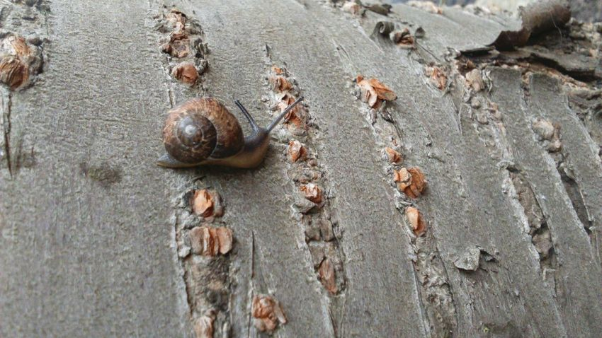 On A Tree Tree Tree Trunk Tree Bark Slimy Snail Shell Snail Photography Snails Snails Pace Gastropoda Mollusca Bark Slimy Snails Nature Photography Nature_collection Nature On Your Doorstep Nature Snail Collection Snail Brown Brown Nature Bark Of A Tree Peeling Bark Peeling Off The EyeEm Collection