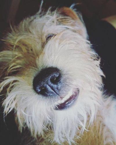 Smile please 😄 Dog Dogsmile Dogsmiling Dogs_of_instagram Dogs Dogoftheday Dogstagram Dogofinstagram Smile Smiling Animallovers Animal Animals Animalofinstagram Pies Uśmiech Smiech Zwierzę Fun Cute Bestoftheday Inspiration Instalike Instadaily Nico