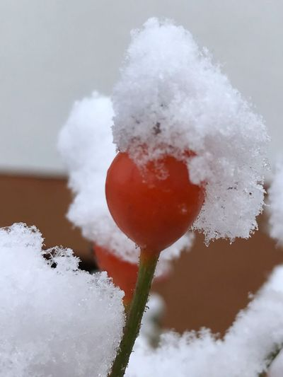 Cold Temperature Snow Winter White Color Weather Frozen Ice Nature Beauty In Nature Cold No People Frost Close-up Melting Outdoors Day Freshness Hagebutten Snowhat