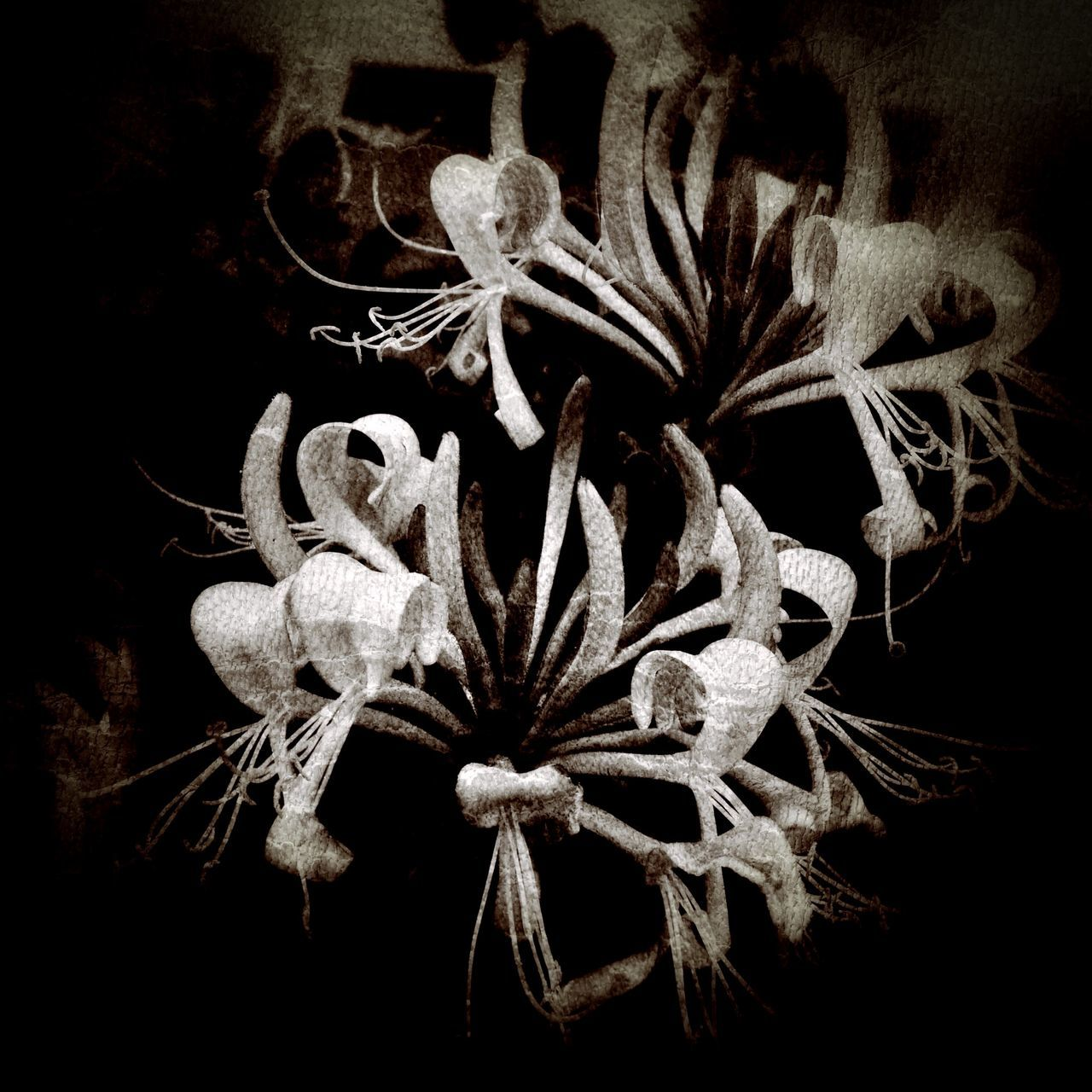 night, close-up, black background, no people, flower, plant, flower head, nature, indoors, fragility, beauty in nature