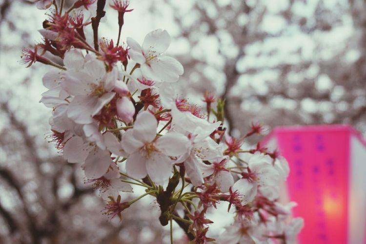 Walking Around Relaxing Japan Cherry Blossoms Tokyo Taking Photos Enjoying Life