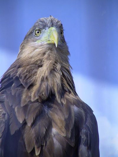Bird Bird Of Prey Beak Animal Body Part Close-up Animal Head  Animals In The Wild Animal Themes One Animal Feather  Animal Wildlife Sky Nature No People Beauty In Nature Day Portrait Outdoors Perching I Always Thinking About U, G I Want To Know Your Secret, C Thank You,❤️