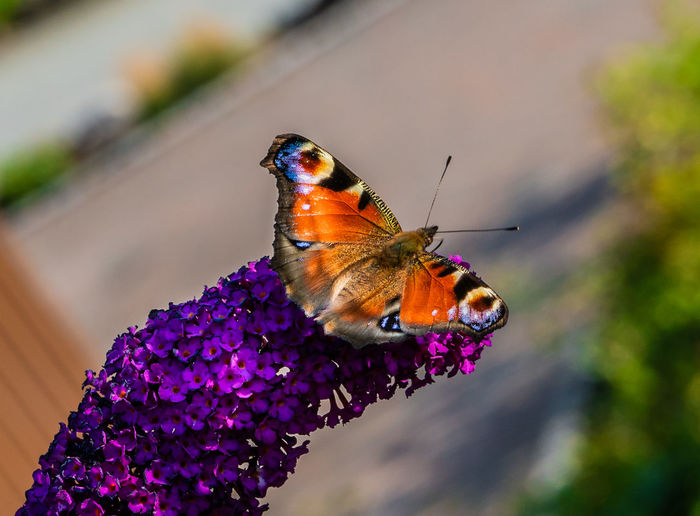 Resting butterfly Animal Themes Butterfly Butterfly - Insect Close-up Day Flower Flower Head Flowering Plant Insect Nature No People One Animal Purple