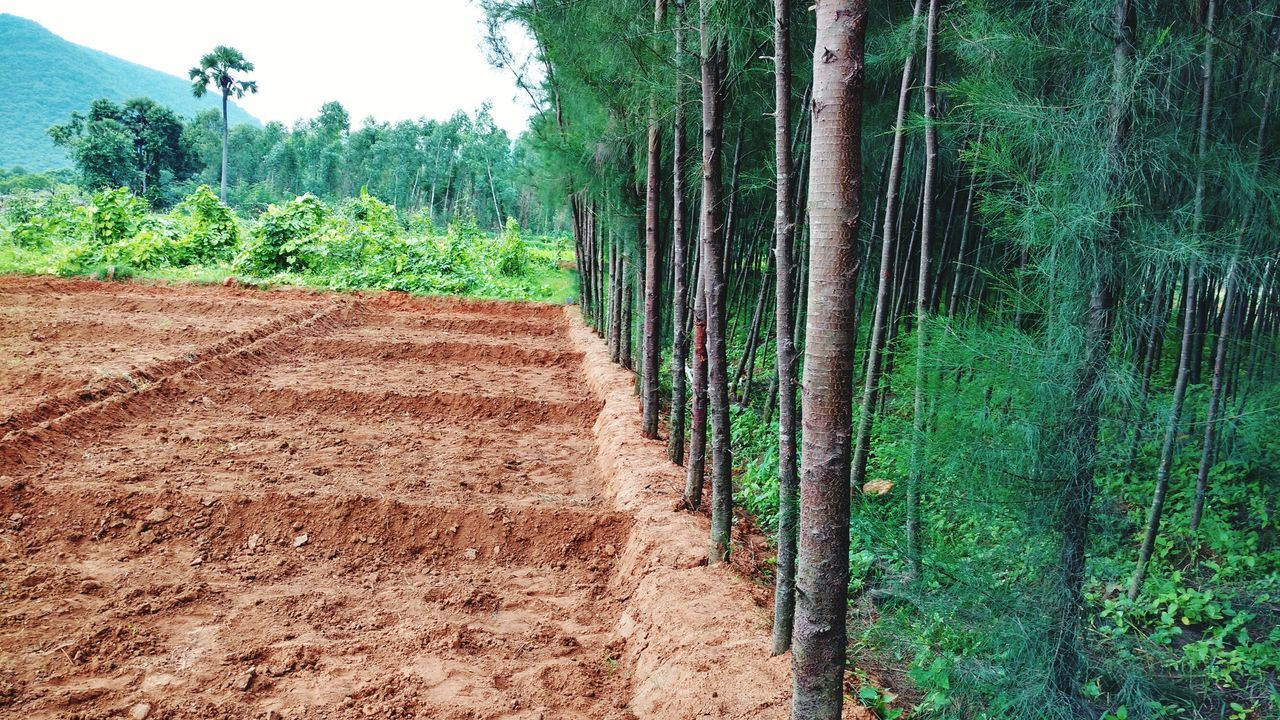 tree, nature, growth, field, day, landscape, agriculture, outdoors, no people, beauty in nature, green color, scenics, tranquility, rural scene, plant, forest, bamboo - plant
