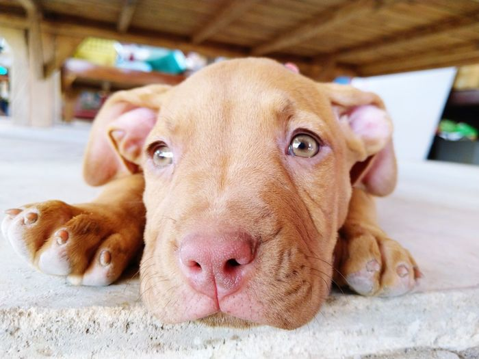 lazy dog Pets Retriever Portrait Pit Bull Terrier Weimaraner Protruding Dog Looking At Camera Puppy Lying Down