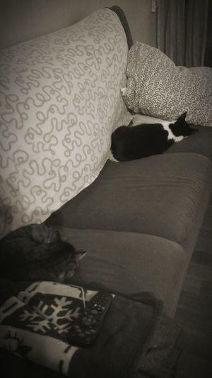 Cat Domestic Cat