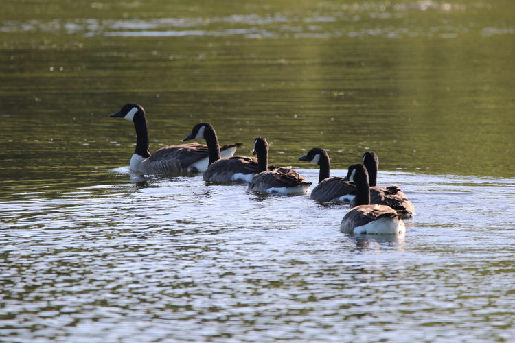 Canada geese family  swimming on lake