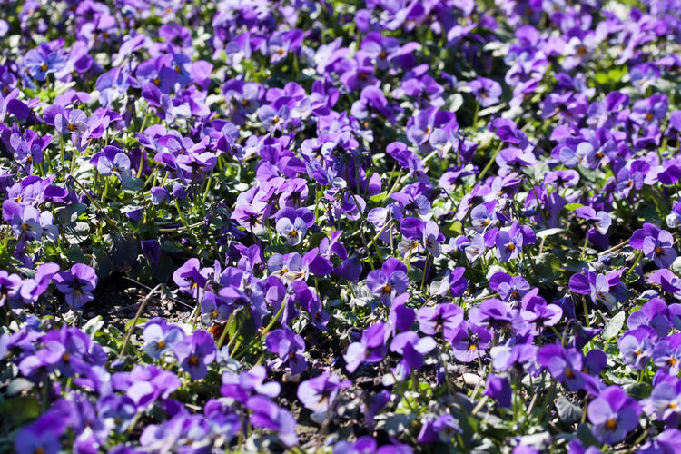 A sea of flowers - purple pansies Backgrounds Beauty In Nature Close-up Flower Flower Head Fragility Freshness Growth Nature No People Outdoors Pansies Pansy Pansy Flower Plant Purple Stiefmütterchen