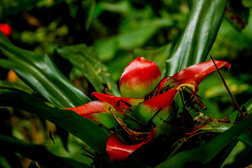Ecoturismo Meleiro, Brazil Turismo De Aventura Beauty In Nature Close-up Day Ecoturism Focus On Foreground Food Food And Drink Freshness Green Color Growth Leaf Nature No People Outdoors Plant Red