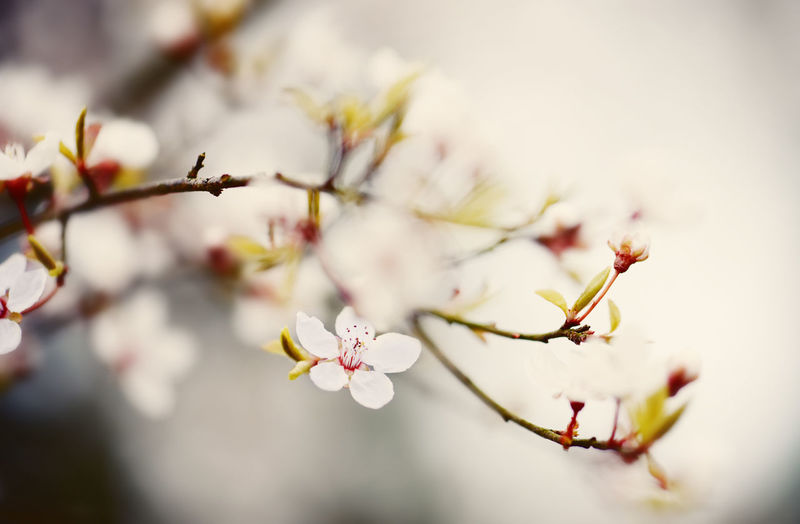 Close-Up Of Plum Blossoms Blooming Outdoors
