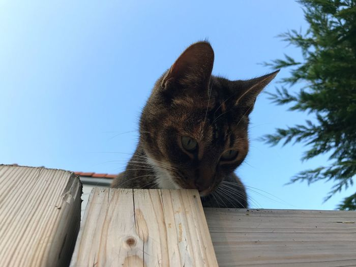 Domestic Cat Domestic Animals Mammal Wood - Material One Animal Animal Themes Pets Feline No People Clear Sky Day Outdoors Low Angle View Blue Sky Close-up Tree Nature No Edit/no Filter Whisker Nature Early Morning Amsterdam Backyard Garden