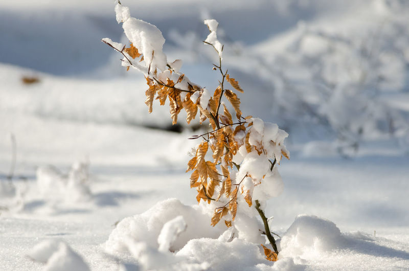 Close-Up Of Frozen Flower On Field During Winter