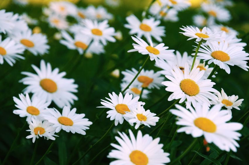 Daisy Flower Flower Head Uncultivated White Color Plant Chrysanthemum Blossom In Bloom