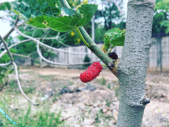Fruit Red Berry Fruit Food And Drink Growth Tree Day Food Nature Outdoors Freshness Raspberry Healthy Eating Leaf Close-up Branch Beauty In Nature Animal Themes