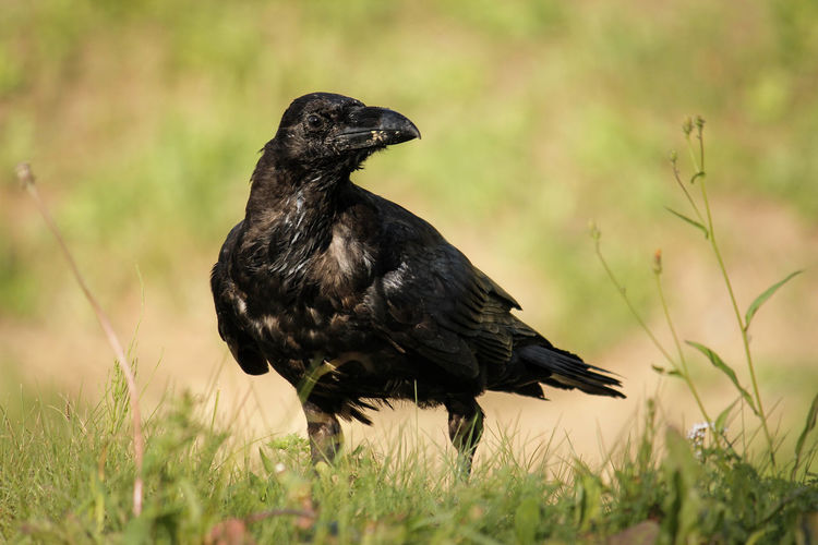 Close-up of raven on grassy field