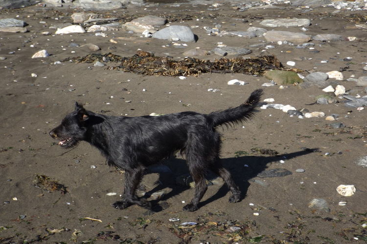 On Mancera Island beach, near to Valdivia (city) Happy Dog Beach Black Color Black Dog Day Dog Domestic Animals Happy Day Mammal Nature No People One Animal Outdoors Perro Callejero Perro Negro Pets Sand Street Dog
