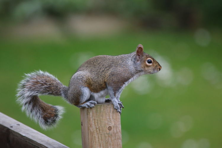 Animal Themes Animal Wildlife Animals In The Wild Close-up Day Focus On Foreground Mammal Nature No People One Animal Outdoors Sitting On The Fence Squirrel Squirrel On A Fence