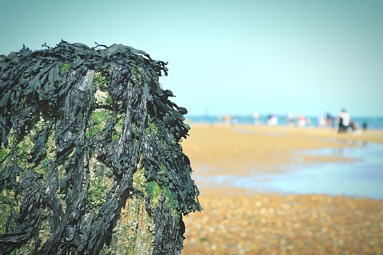 Seaweed on Groyne Day At The Beach Beach Beach Day Beach Photography By The Sea Sandy Beach Sand & Sea Sky And Sea Sea And Sky Blue Sky Not A Cloud In The Sky Seaside British Seaside People On Beach Sunny Day Frinton-on-Sea United Kingdom Nikon D3200