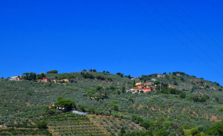 Olive trees and