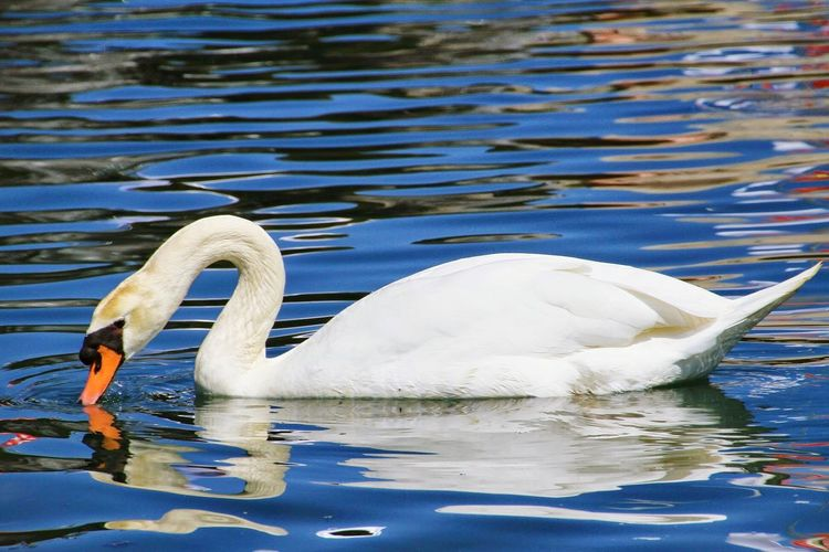 Close-up side view of a swan in rippled water